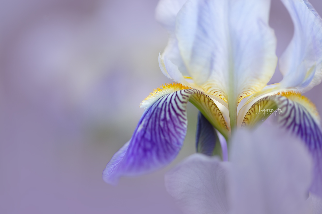 _141 2 12x8 06 01 2018 Bearded Iris in the evening light