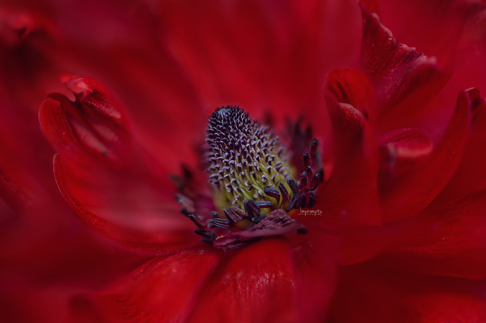 Red Ranunculus _399-07 06.jpg