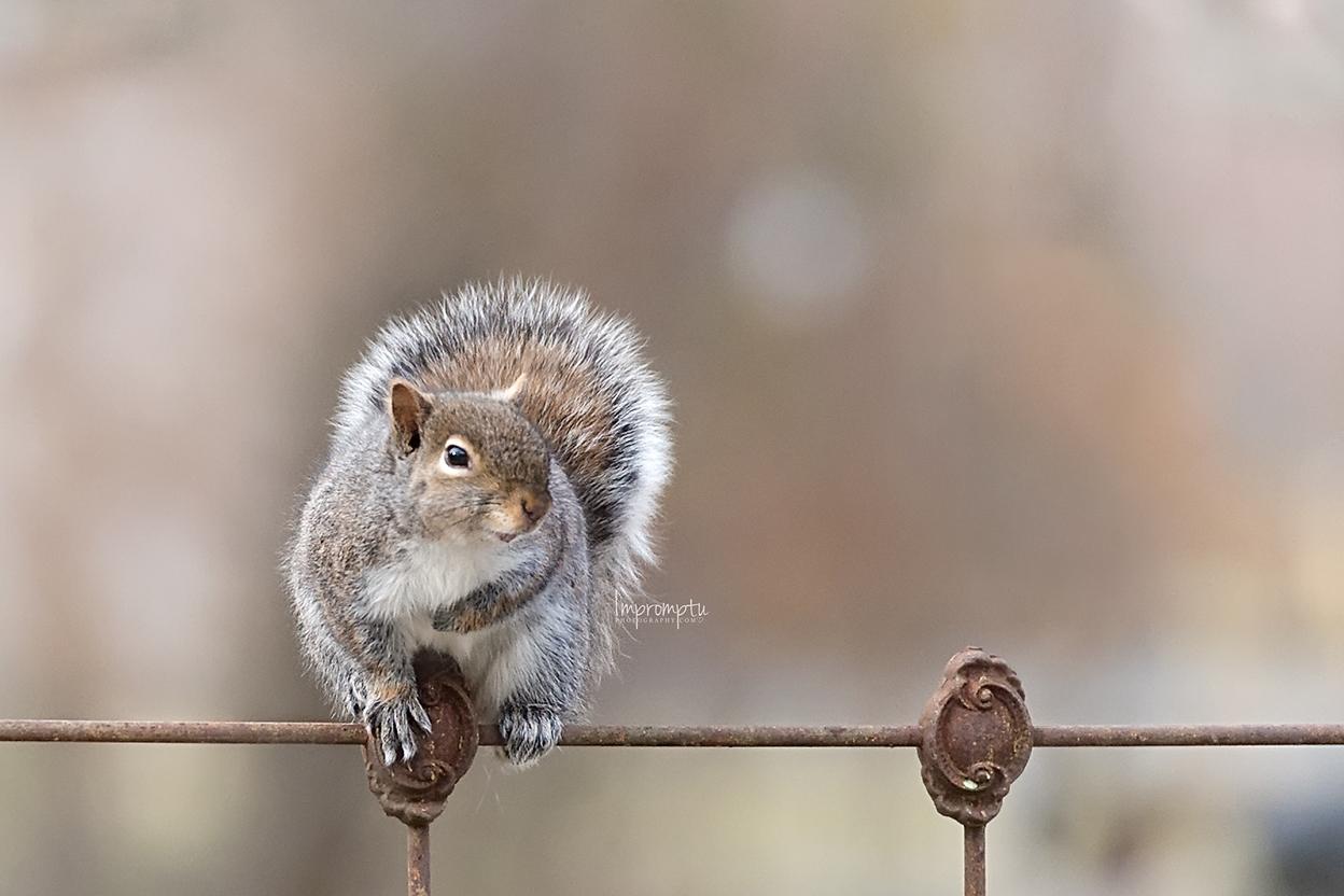 _95-12x8 04 06 2014 Squirrel.jpg