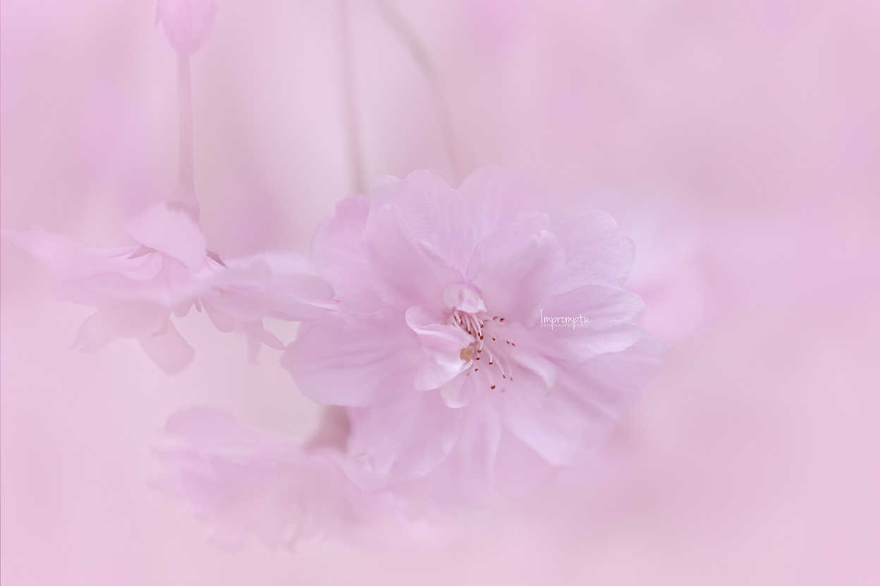 _27  4 05 14 2019 12x8 Weeping Cherry .jpg