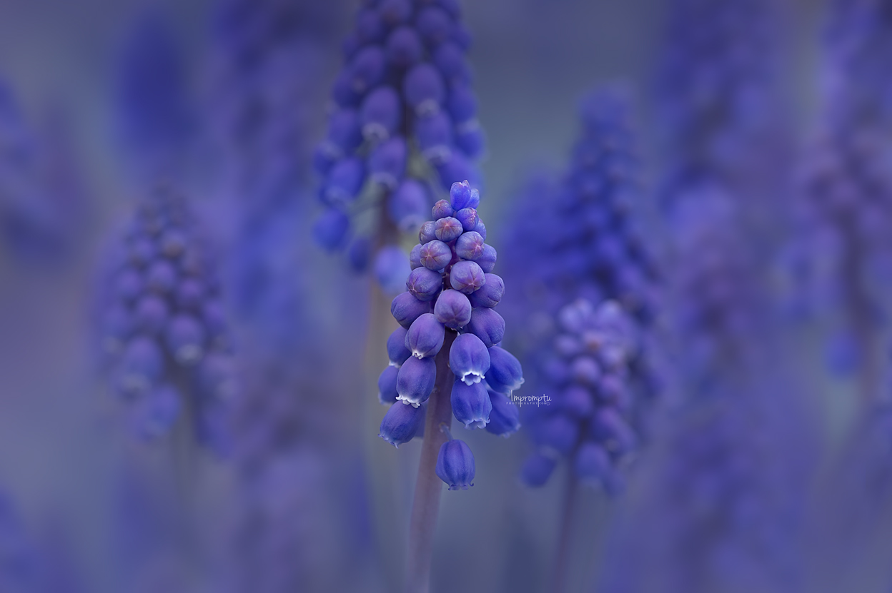 _25 Grape Hyacinth 04 30 2019  .jpg