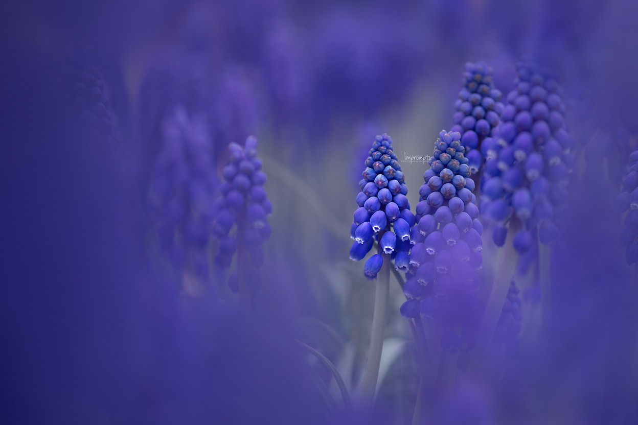 _52 2  05 06 2019 12x8 grape hyacinth.jpg