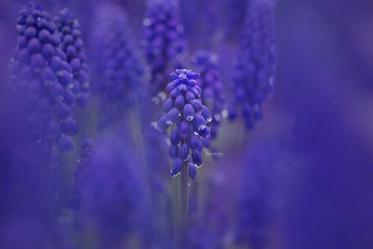 _54 1 05 08 2019 grape hyacinth.jpg