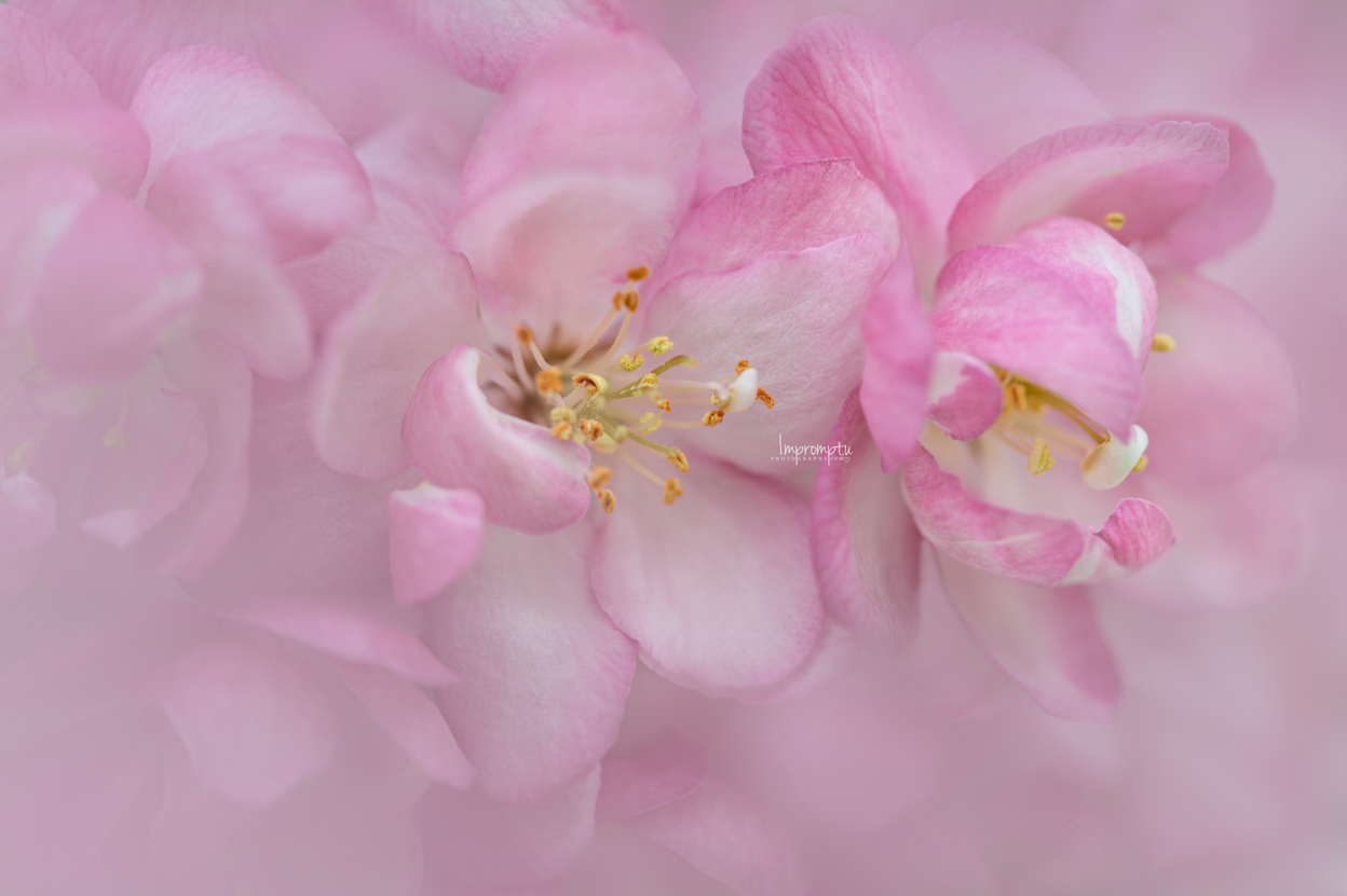 _70  3 05 22 2019 Crab Apple Blooms .jpg