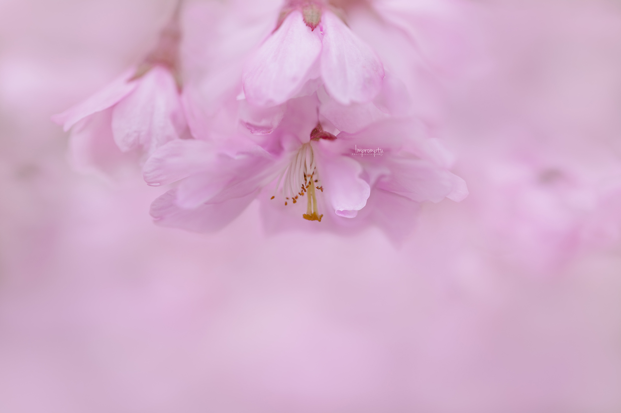 _125 3 05 11 2019 Weeping Cherry Bloom .jpg