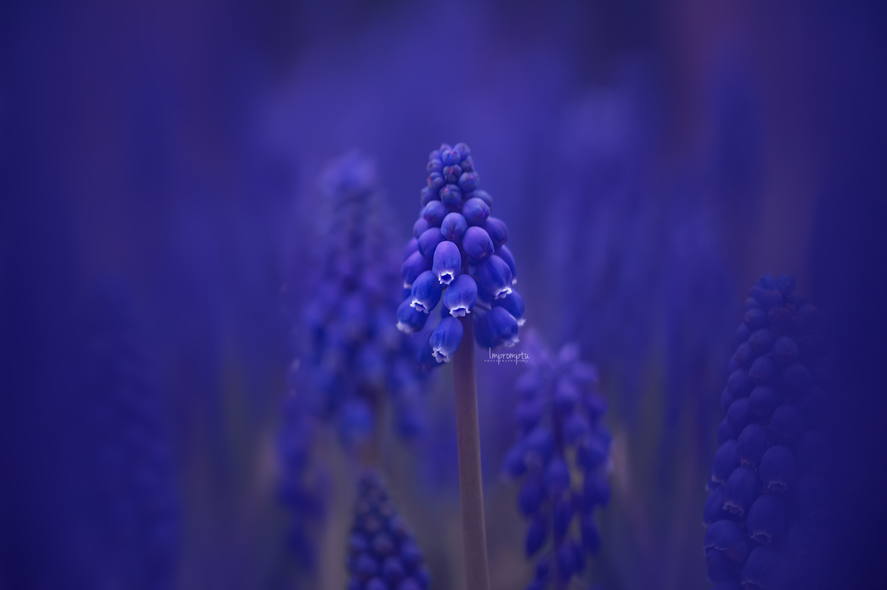_139 1 05 09 2019 grape hyacinth.jpg