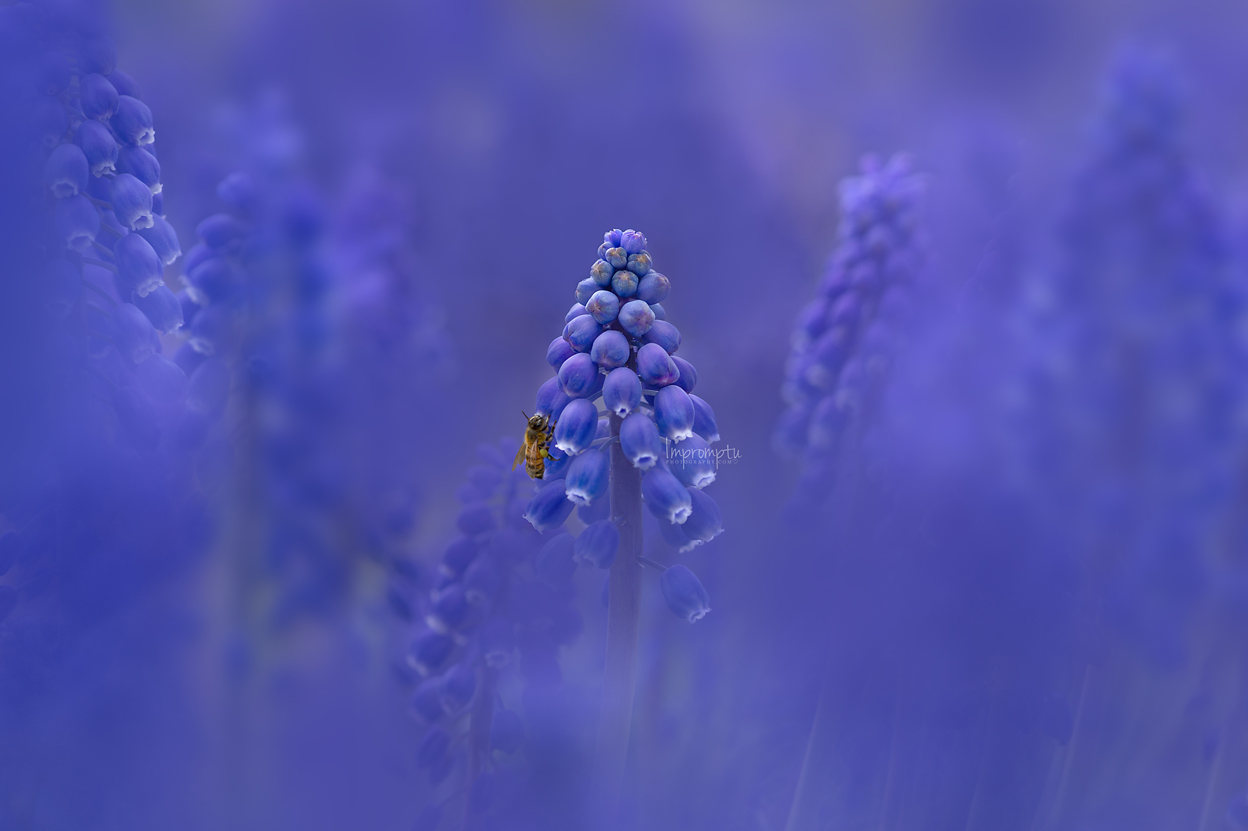 _163 1 grape hyacinth 05 14 2019.jpg