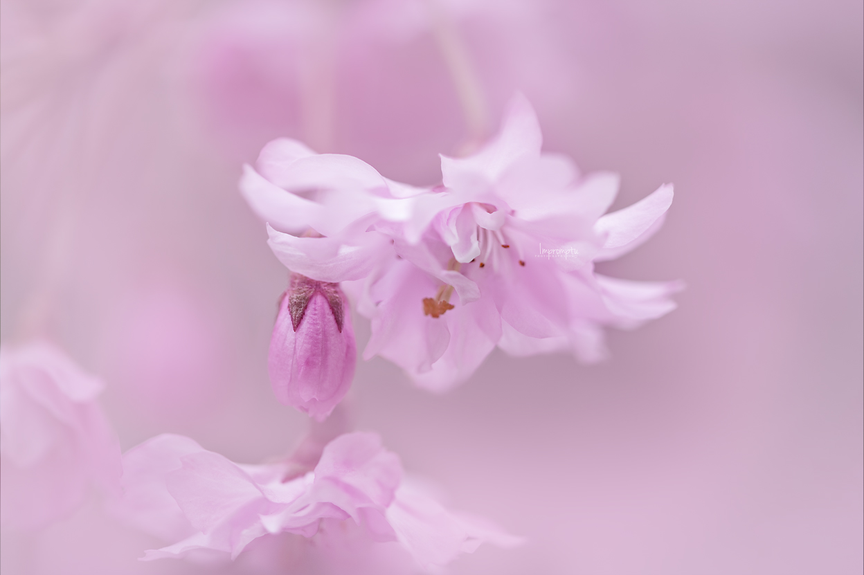 _262 2 Pretty in Pink Weeping Cherry Bloom.jpg
