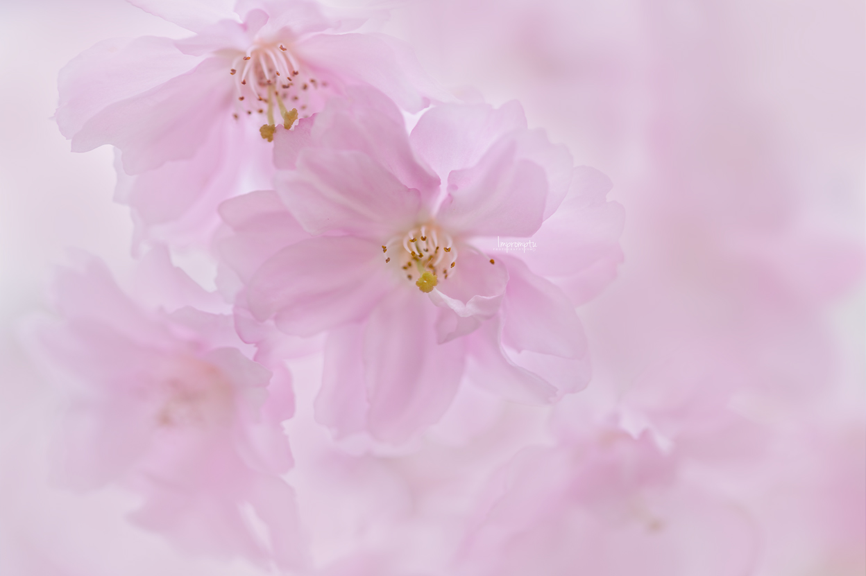 _309 3 05 11 2019 Weeping Cherry Bloom .jpg