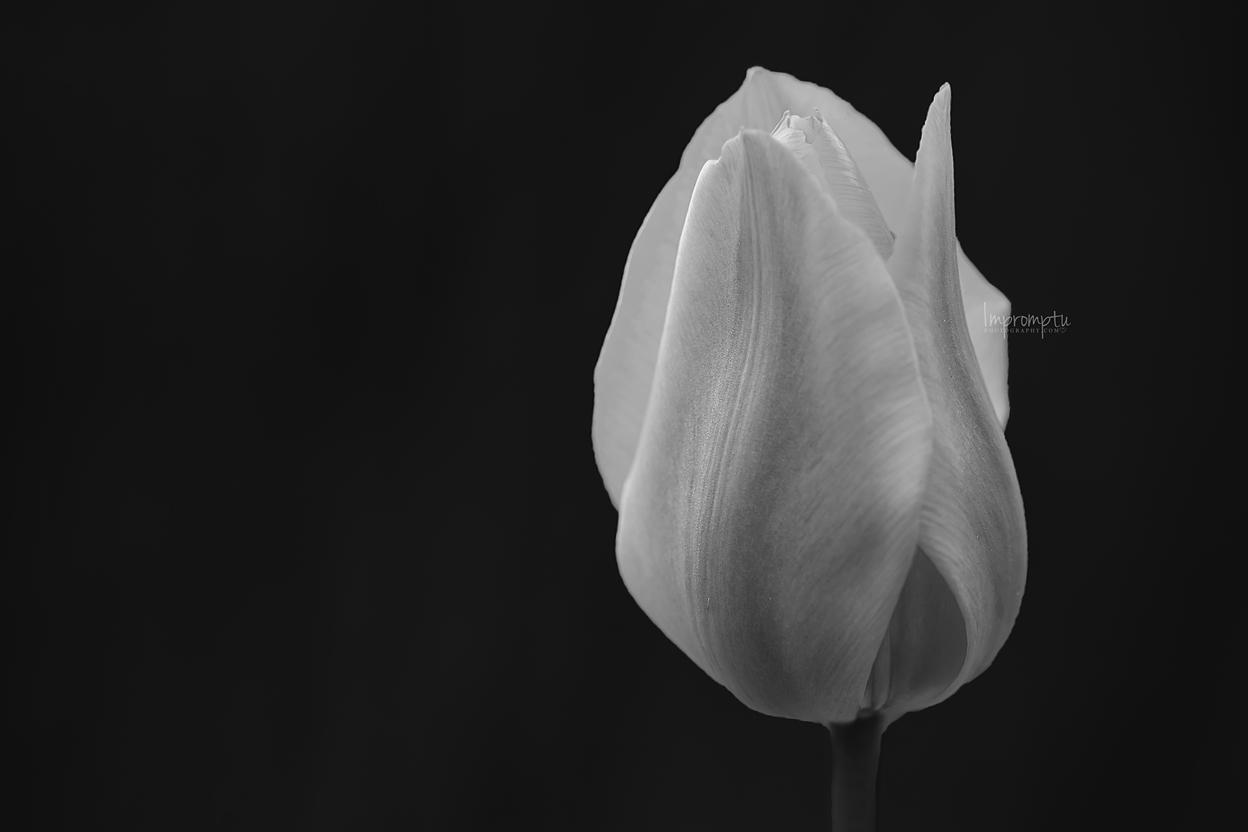 _228 1 05 15 2019 BW Tulip .jpg