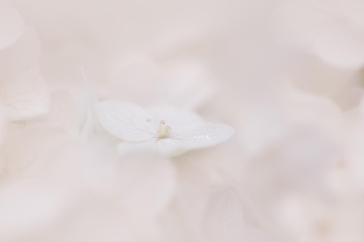 _41 4 07 27 2019 12x8 Pinicle Hydrangea.jpg