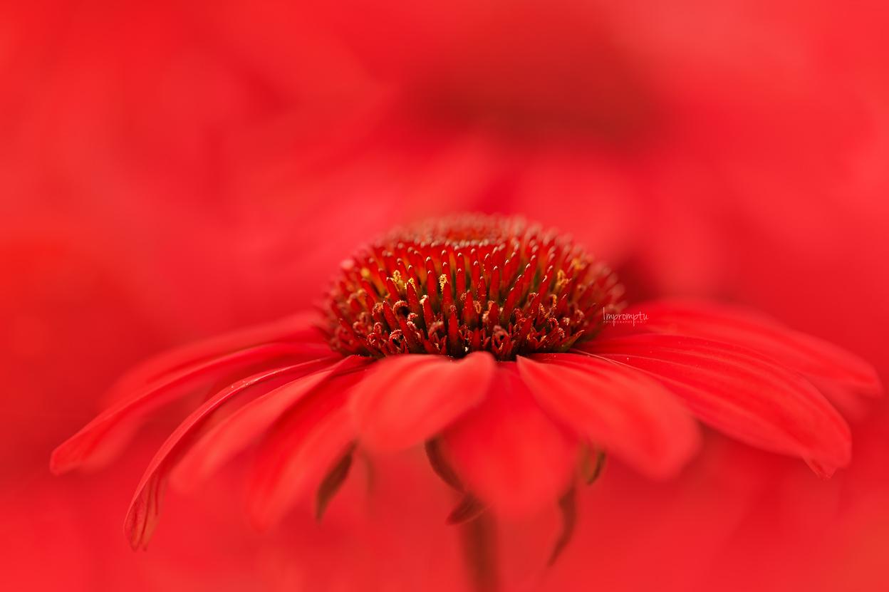 _83 3  07 30 2019 Red Cone Flower .jpg