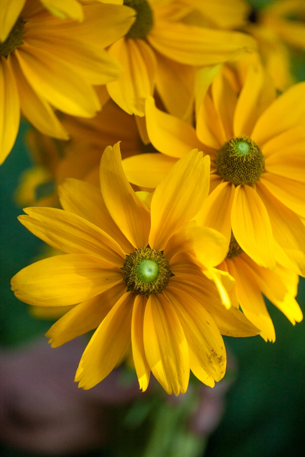 'Irish Eyes' Rudbeckia