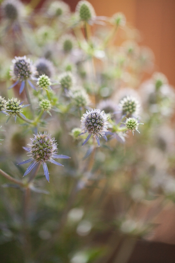 Sea Holly (Eryngium)