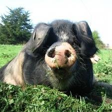 OldFarm  - Irish free-range pigs, pork and bacon.