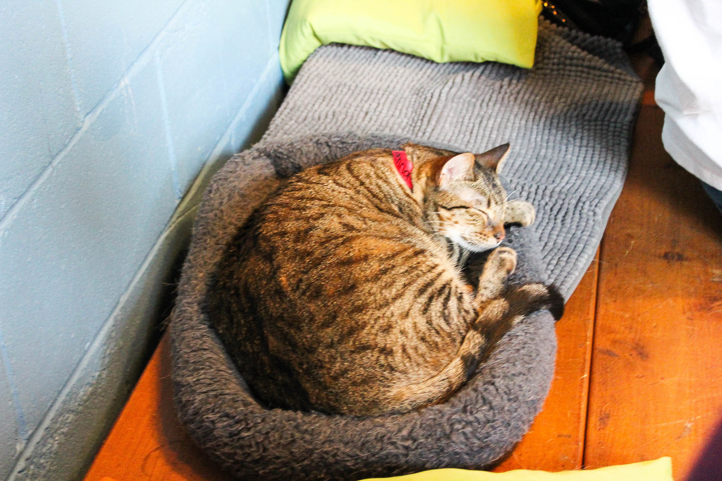 Meet Sienna! She's available for adoption at the Cat Café
