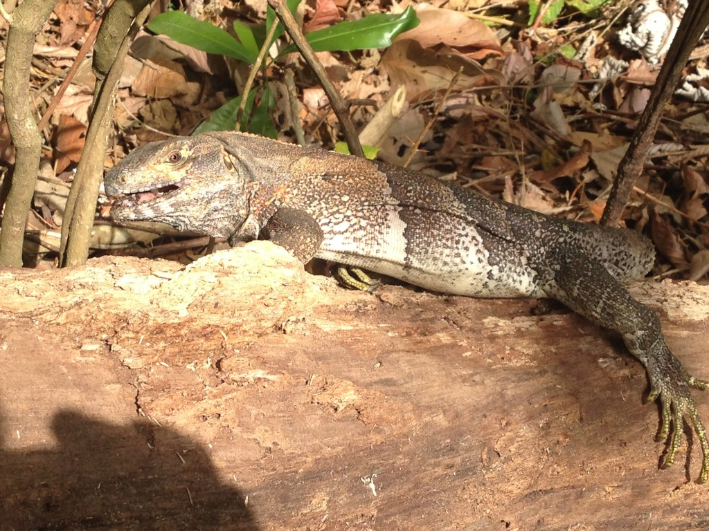Some sort of iguana reptile.