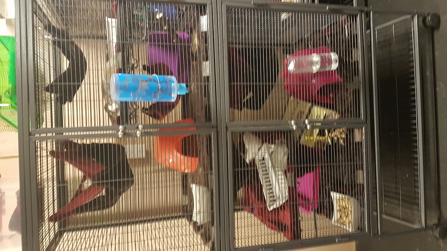 All clean! Each cage has 2 normal hammocks and 1 double level hammock, one hut, a sock bin, a litter box and of course tons of cardboard!