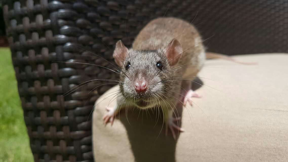 DU agouti boy from the Nimh X Reep littee