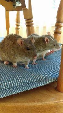 bristle/rex rats