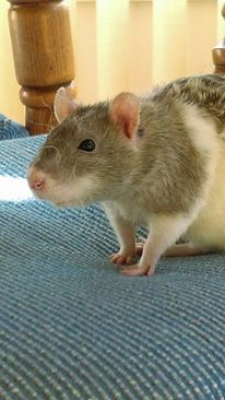 bristle/rex rat