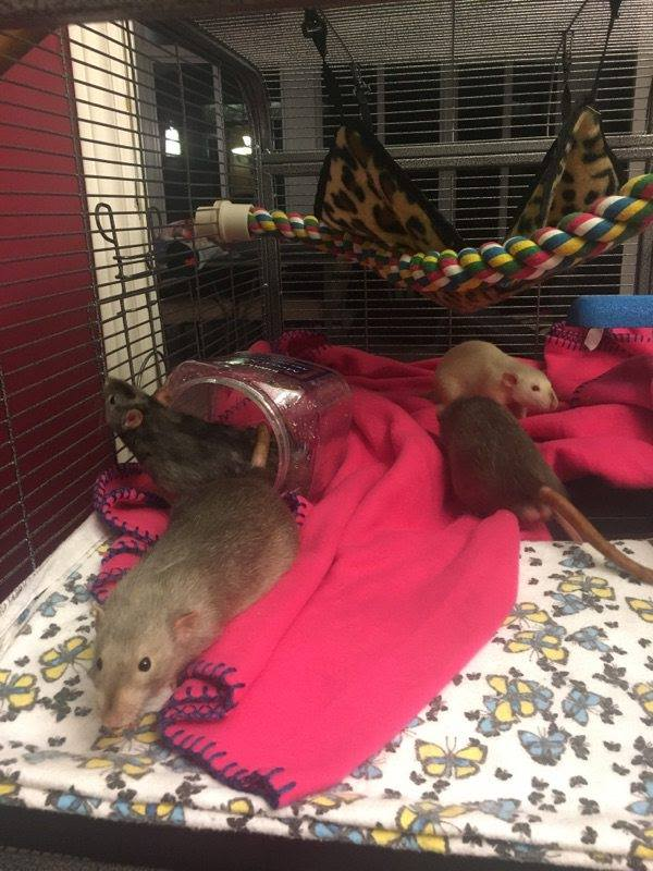 red eyed marten dumbo rat, black eyed marten dumbo rat and himalayan rat