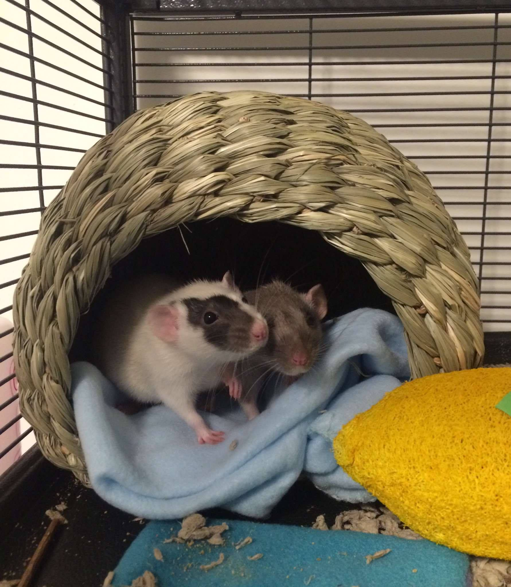 Happy rats all huddled up in their new home <3