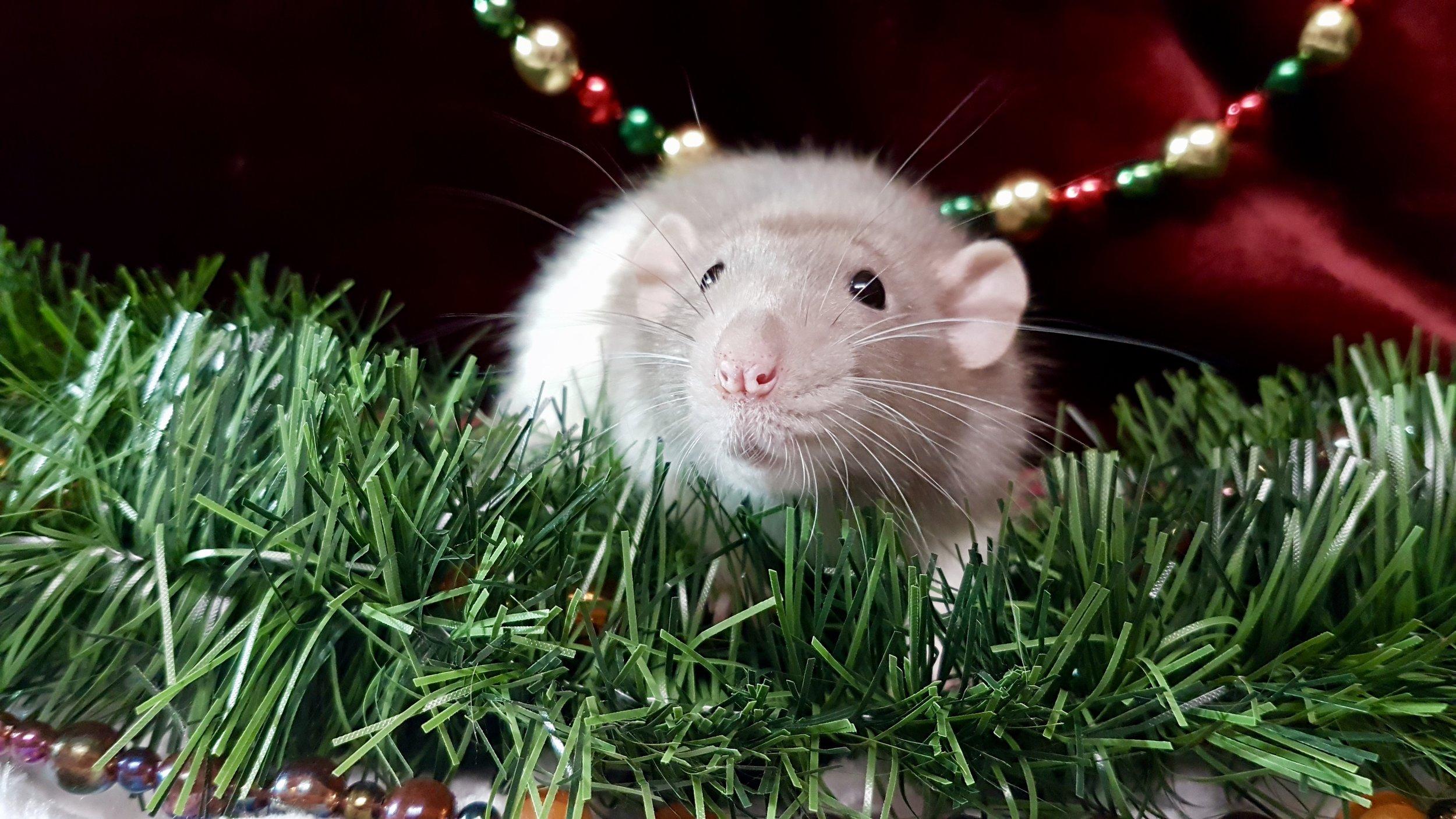 Freya - silver mink dumbo