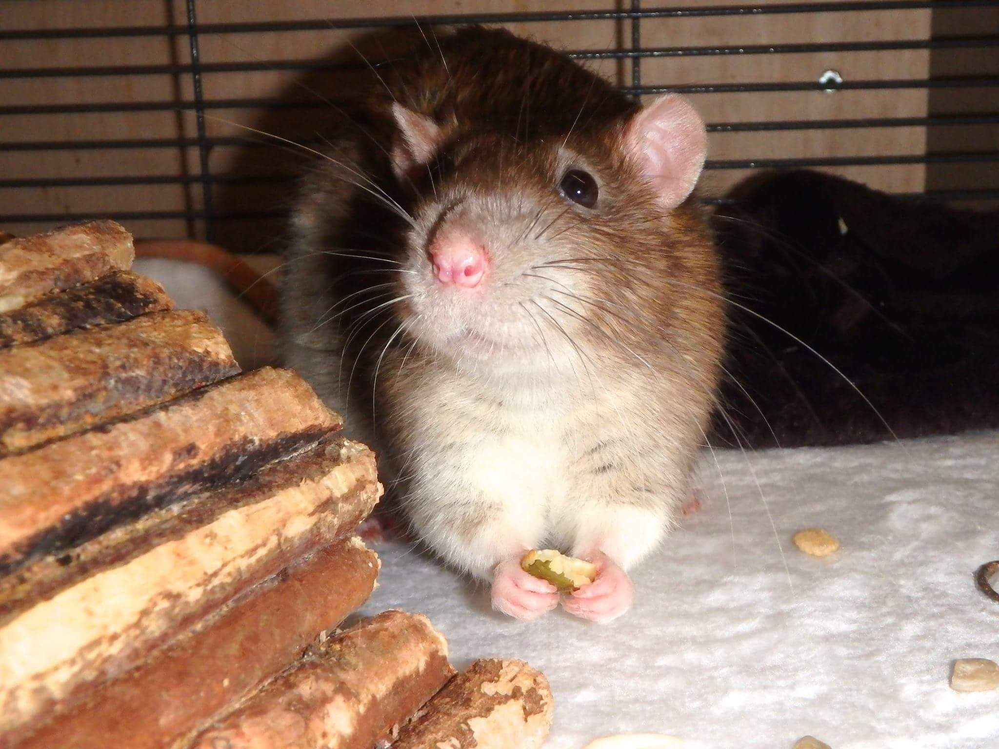 Standard rat - standard fur, top ears