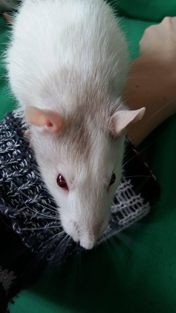 Rat Emporium Toronto · Rat Breeder Toronto · Adopt Pet Rats Toronto