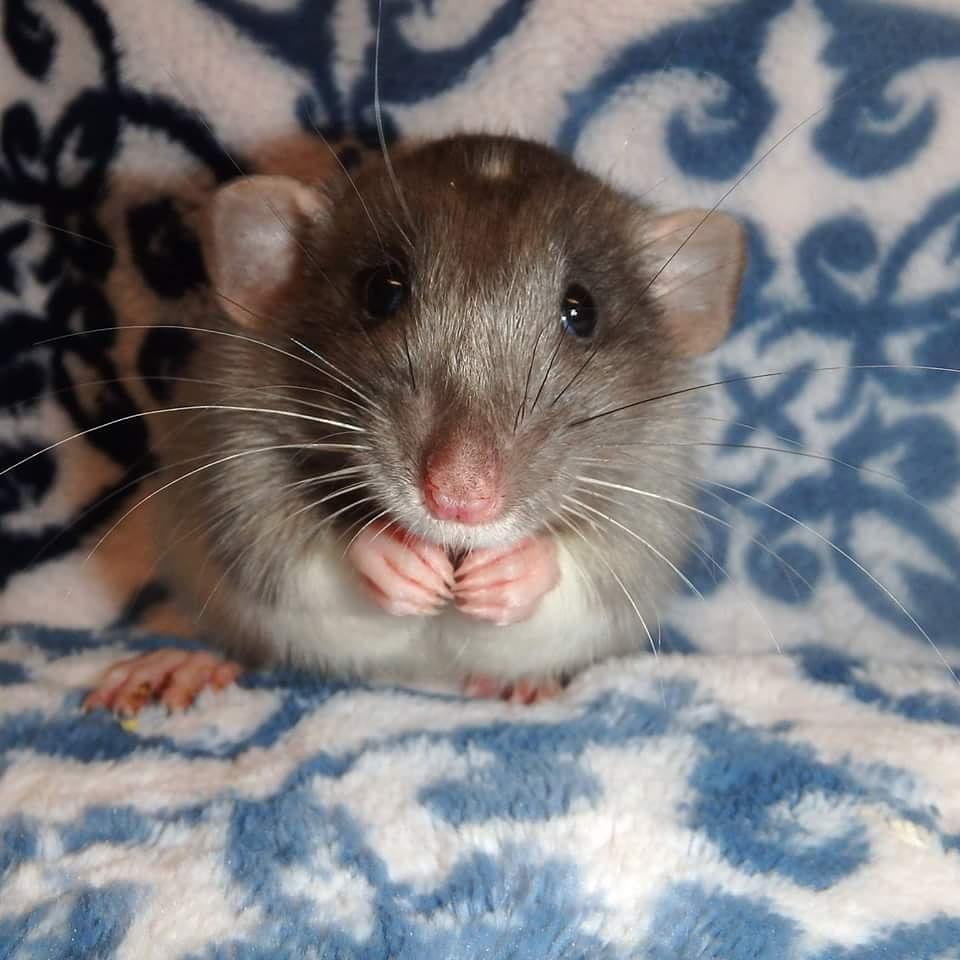 Younger silvermane rat