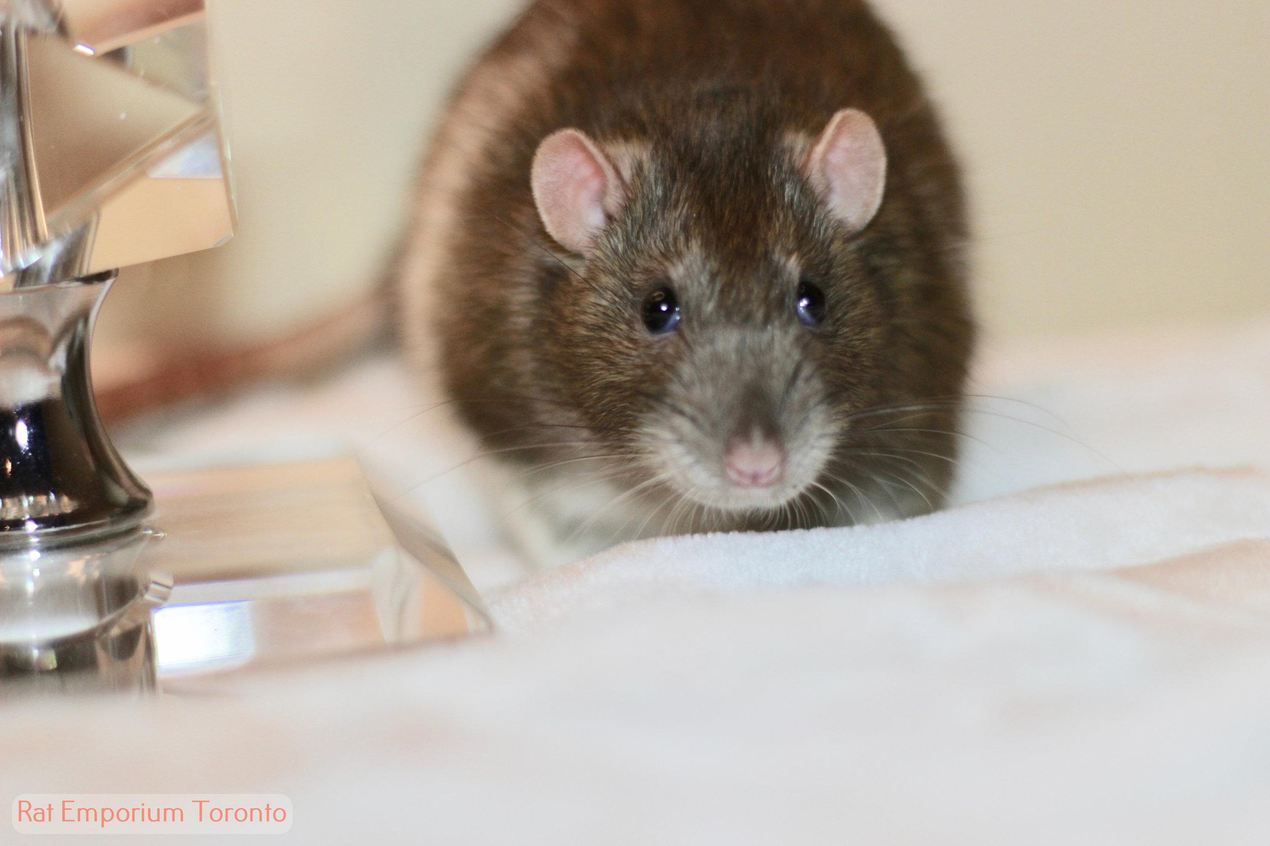 Cinnamon standard rat, beriberi