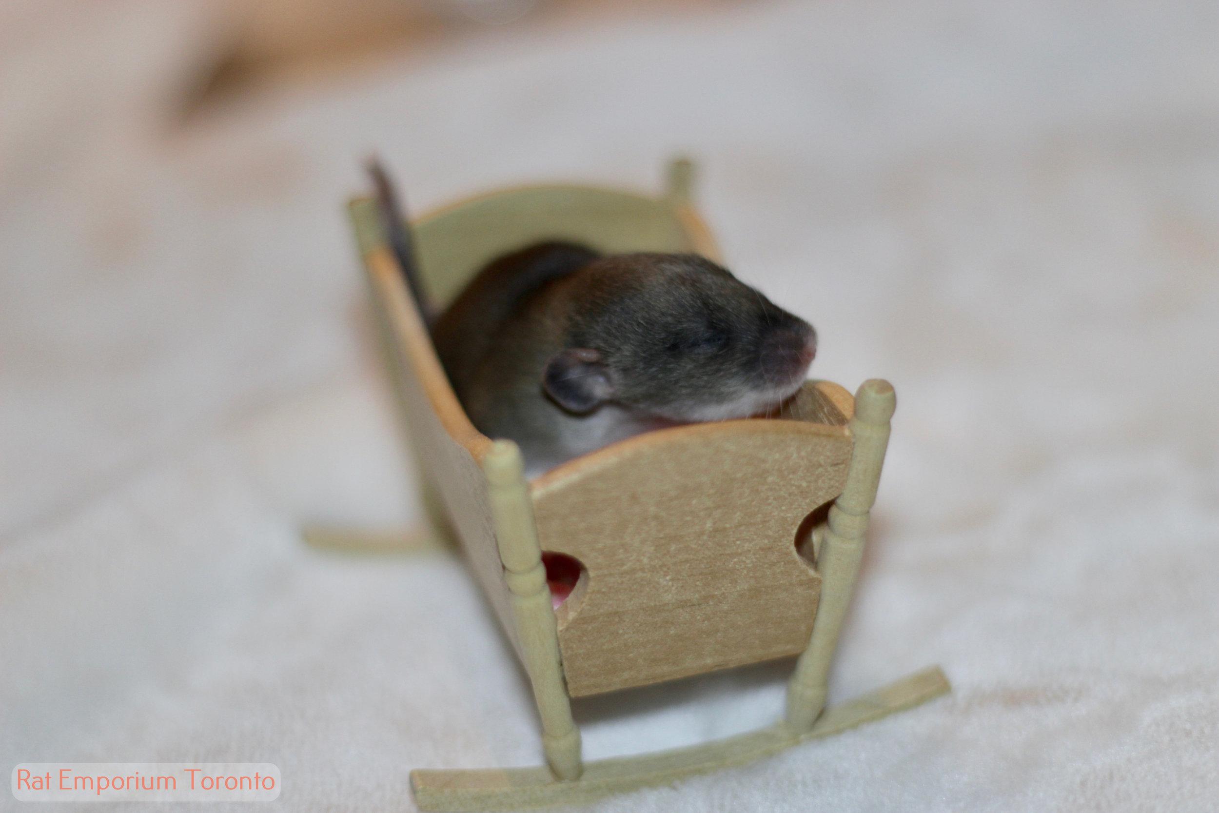 agouti dumbo rat