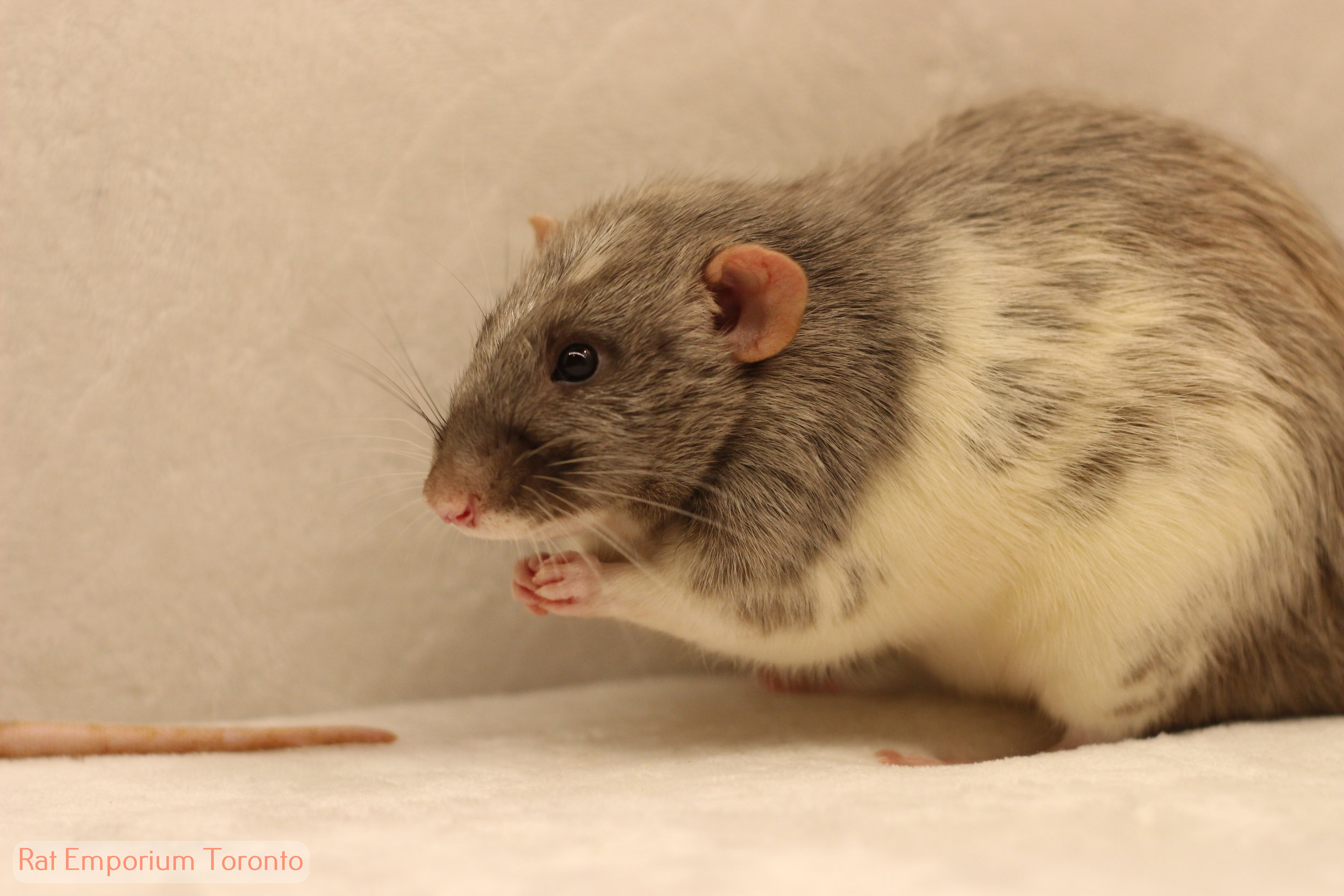 Loraz -nblack silvermane dumbo variegated rat