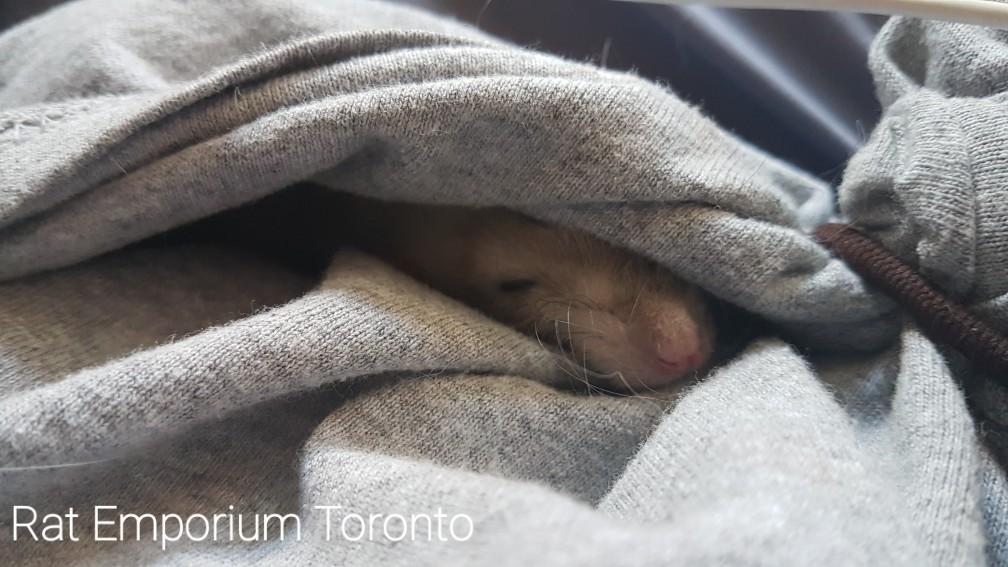 Rattie nap time <3
