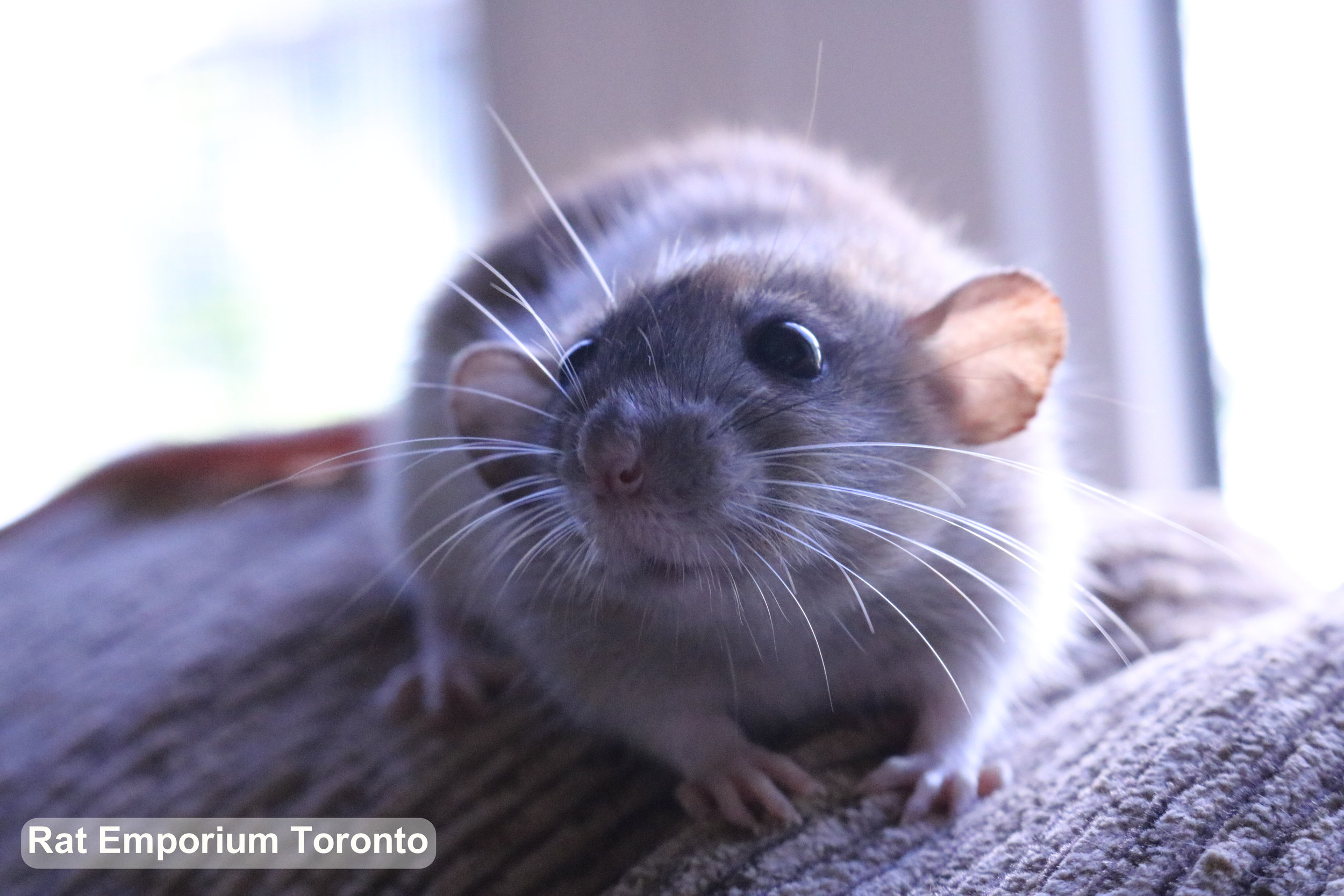 female dwarf silvermane agouti rat