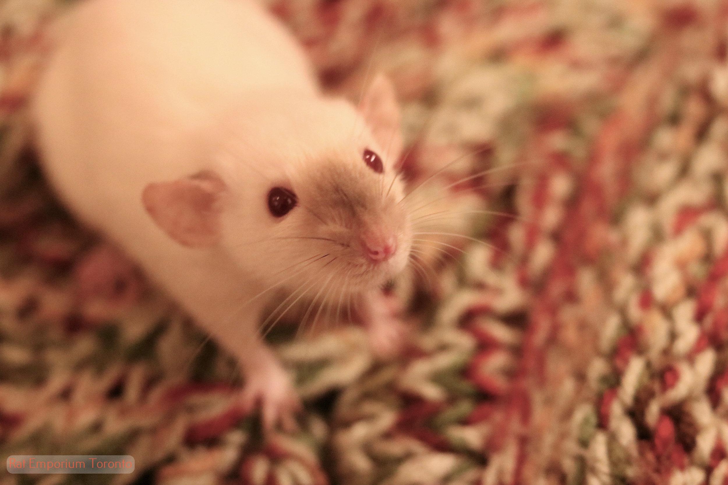 siamese dumbo dwarf rat