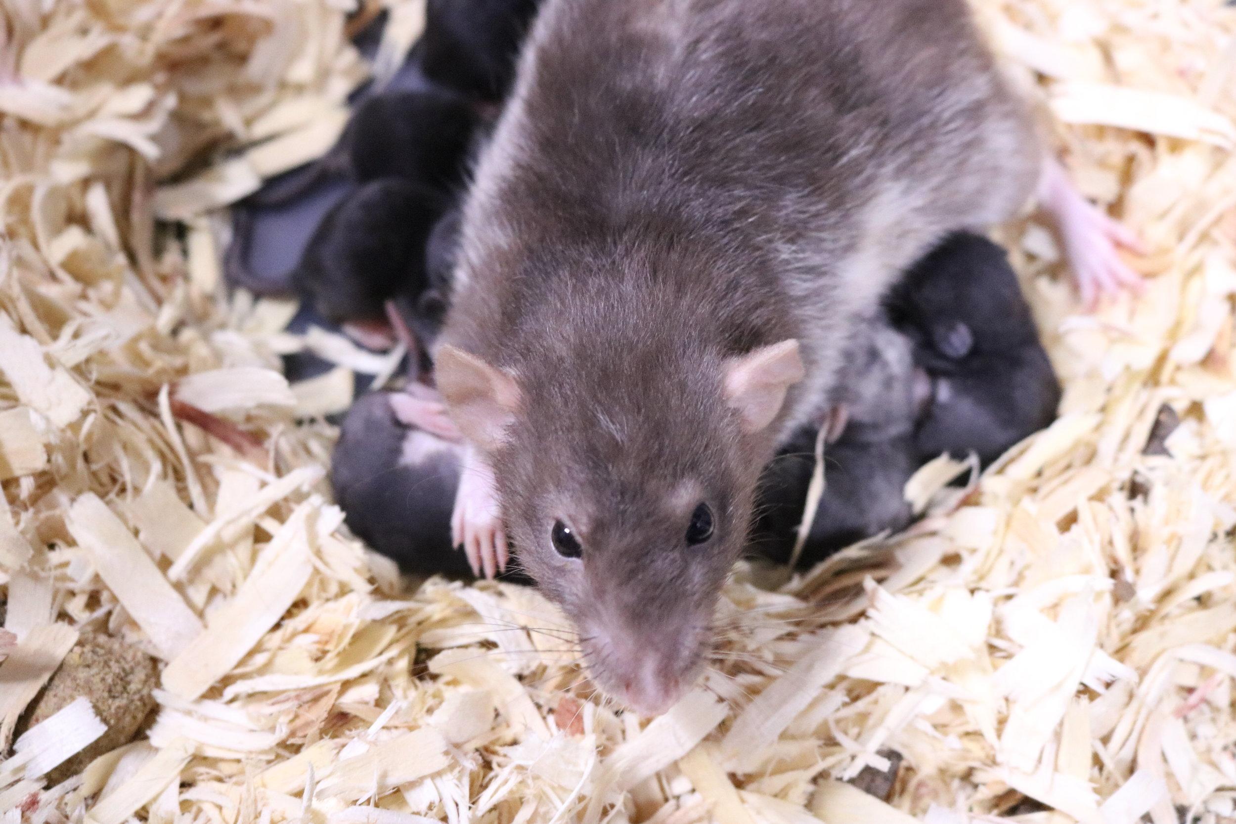 mink dumbo rat
