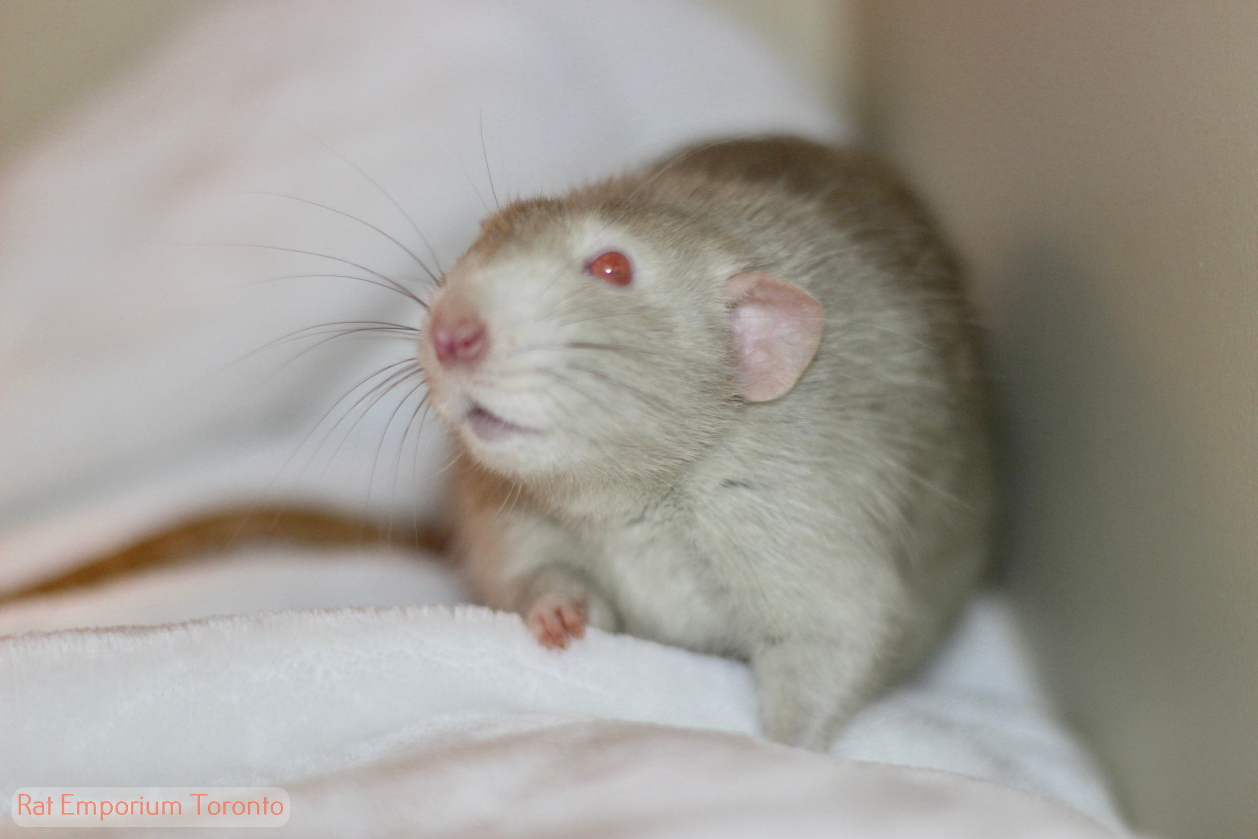 male re mink marten dumbo rat, male, unmarkedovercoming rat problems and stigma with cute pet rats