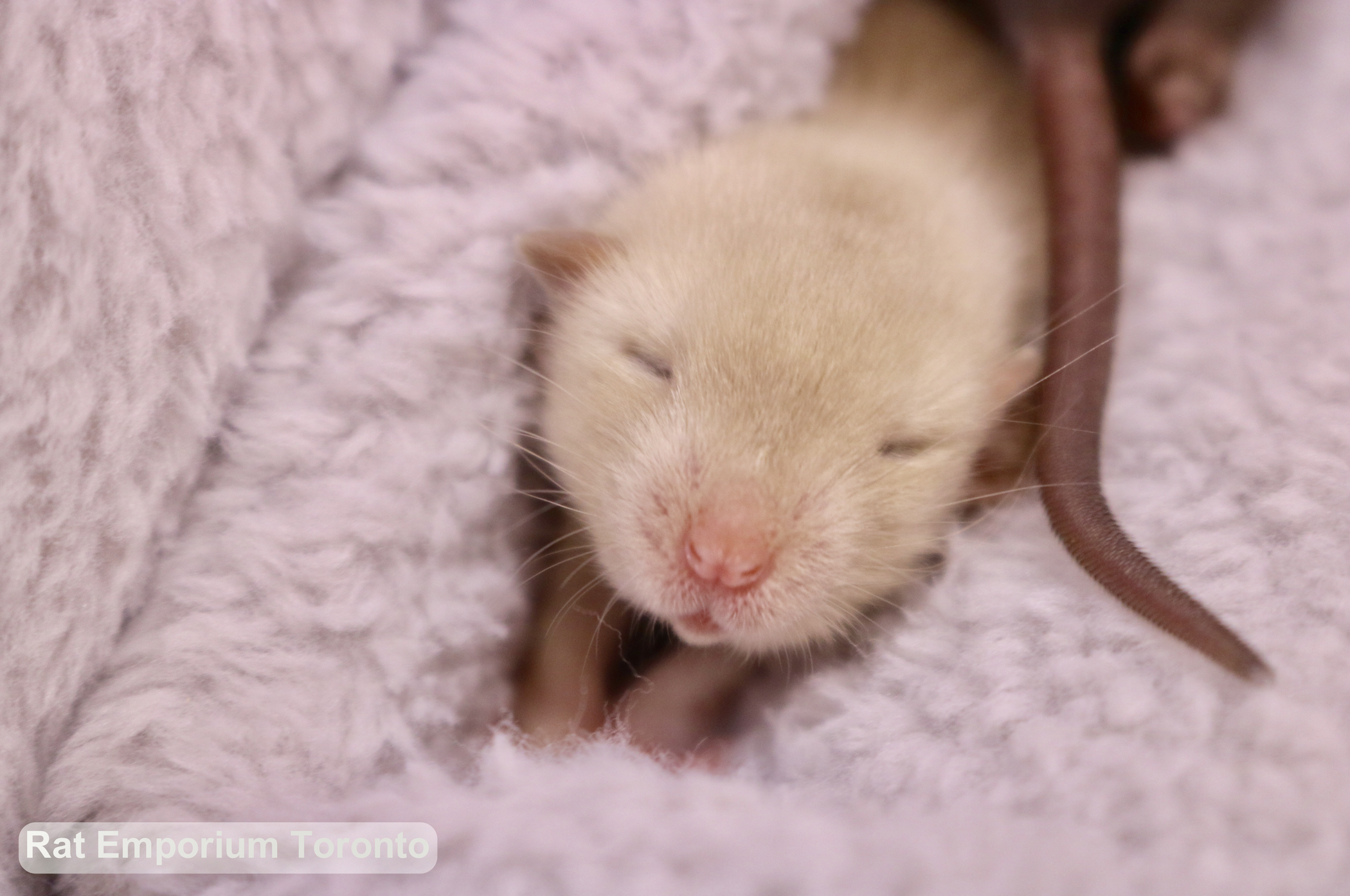 baby siamese and sable rats, dumbo and top ear bred at the Rat Emporium Toronto