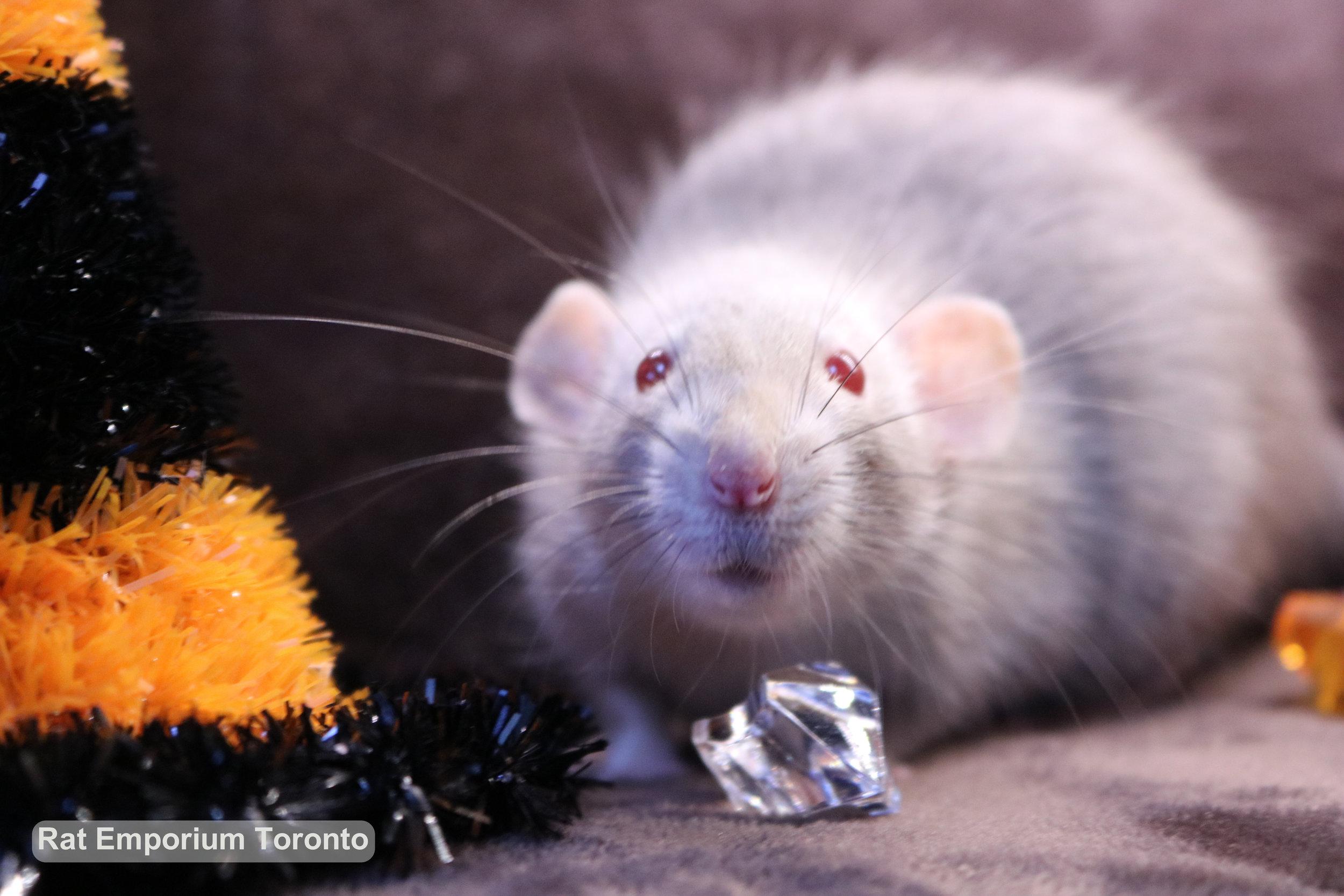 female red eyed marten dumbo rat - rat emporium Toronto - adopt pet rats Toronto - rat breeder