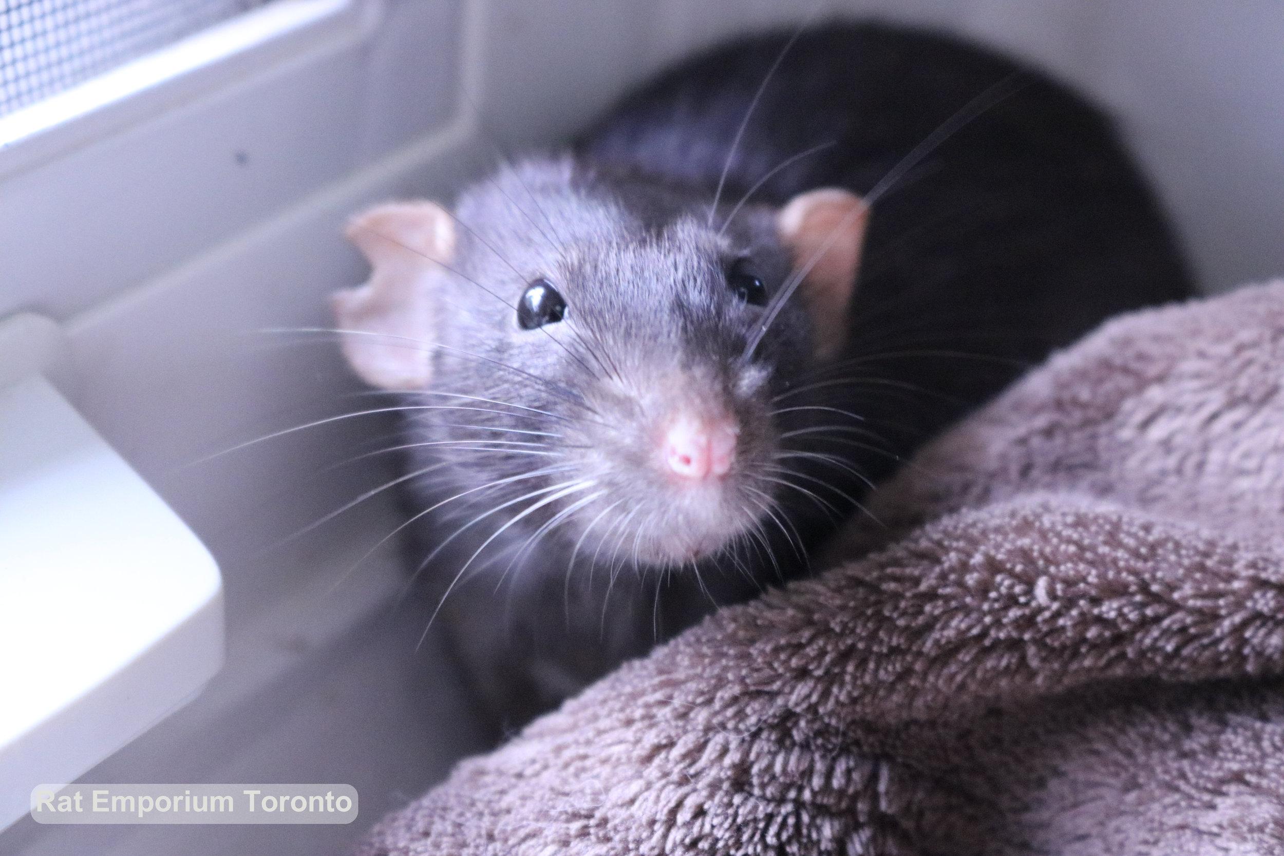female black dumbo rat - rat emporium Toronto - adopt pet rats Toronto - rat breeder