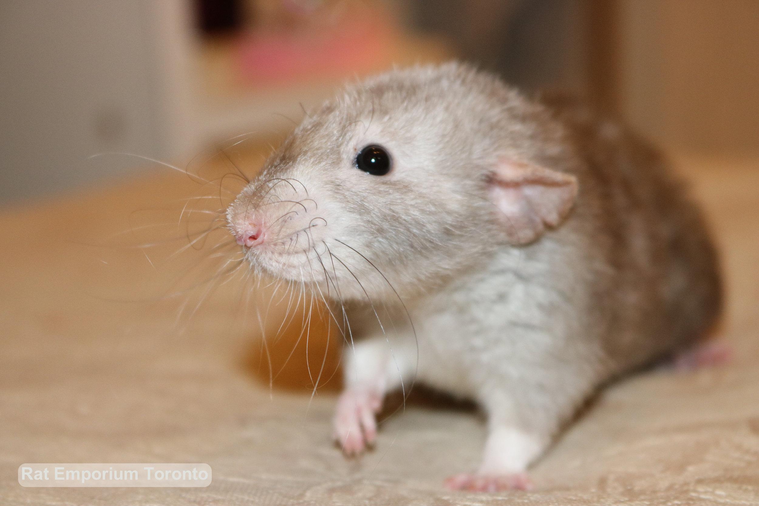 Daze - female black eyed marten dumbo velveteen rat -born at the Rat Emporium Toronto, a Toronto based pet breeder - Adopt pet rats - Toronto, Ontario, Canada - Toronto Rats