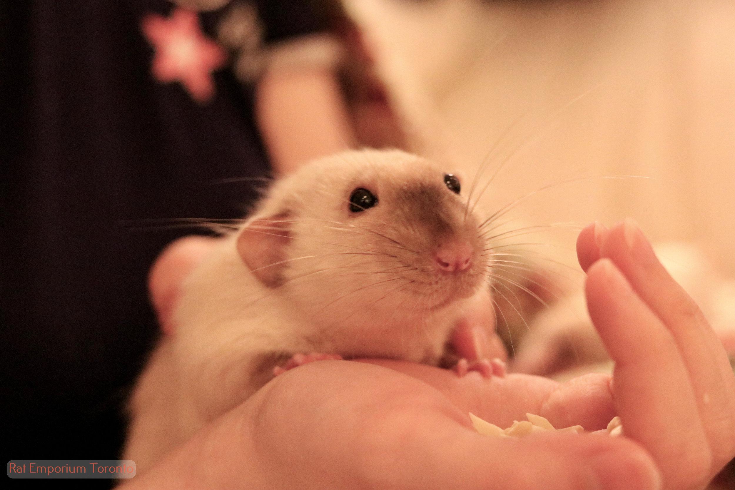 Daniel - black eyed siamese dumbo rat- born and raised at the Rat Emporium Toronto - rat breeder Toronto Ontario Canada