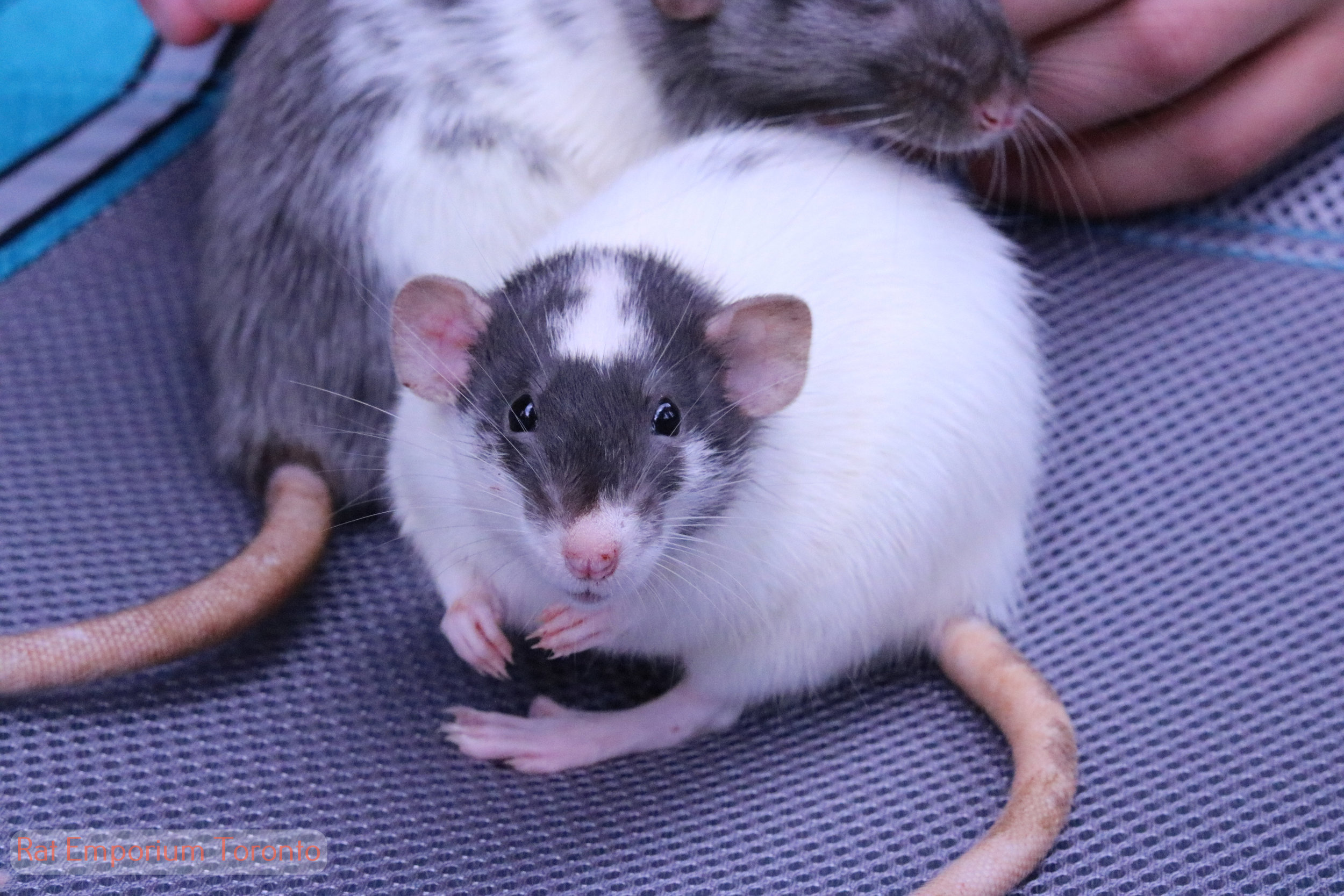 black dumbo rat - born and raised at the Rat Emporium Toronto - rat breeder Toronto - adopt pet rats - learn about rats