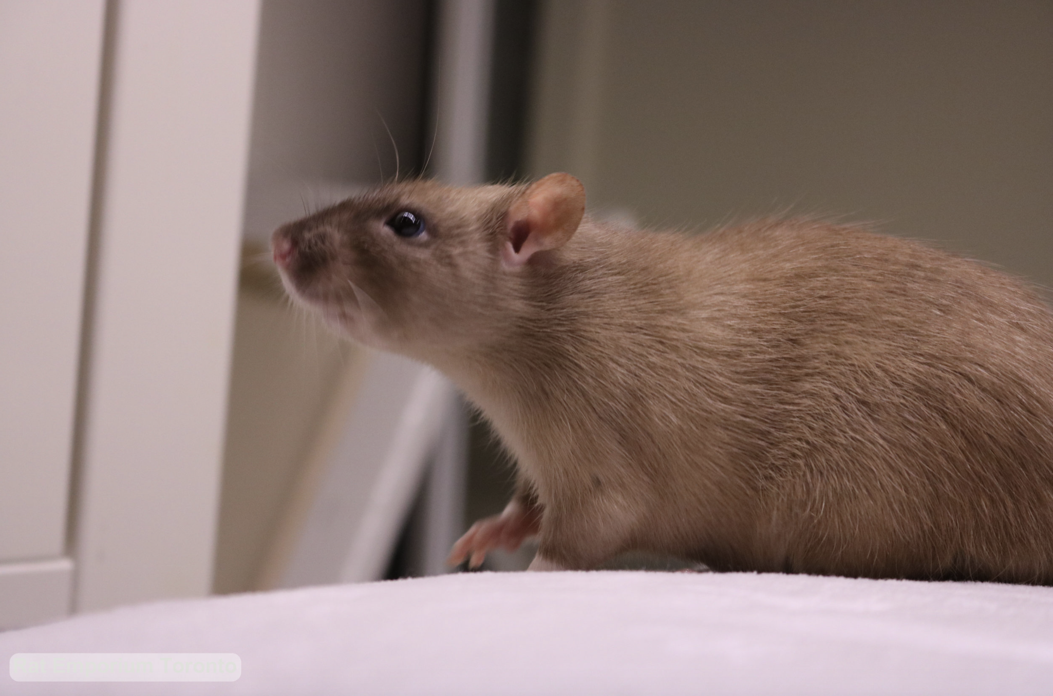 black eyed sable rat - born and raised at the Rat Emporium Toronto - rat breeder Toronto - adopt pet rats - learn about rats