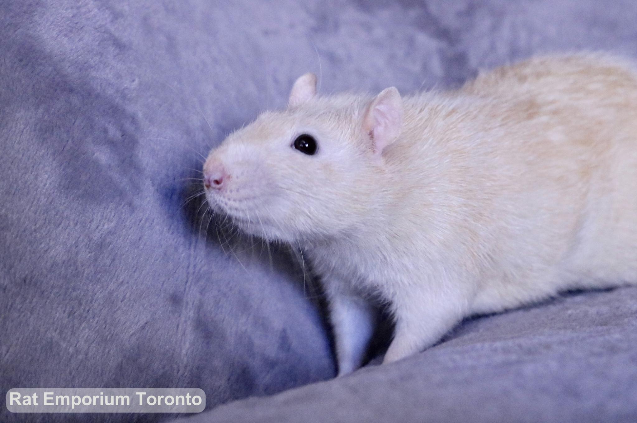 Adopt pet rats Toronto - born and raised at the Rat Emporium - adopt pet rats Toronto