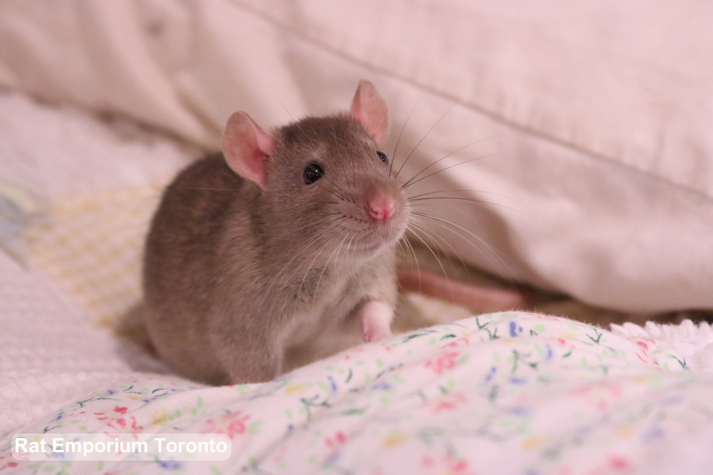 My standard eared rat Crisp! His ears are smaller and placed higher on his head.