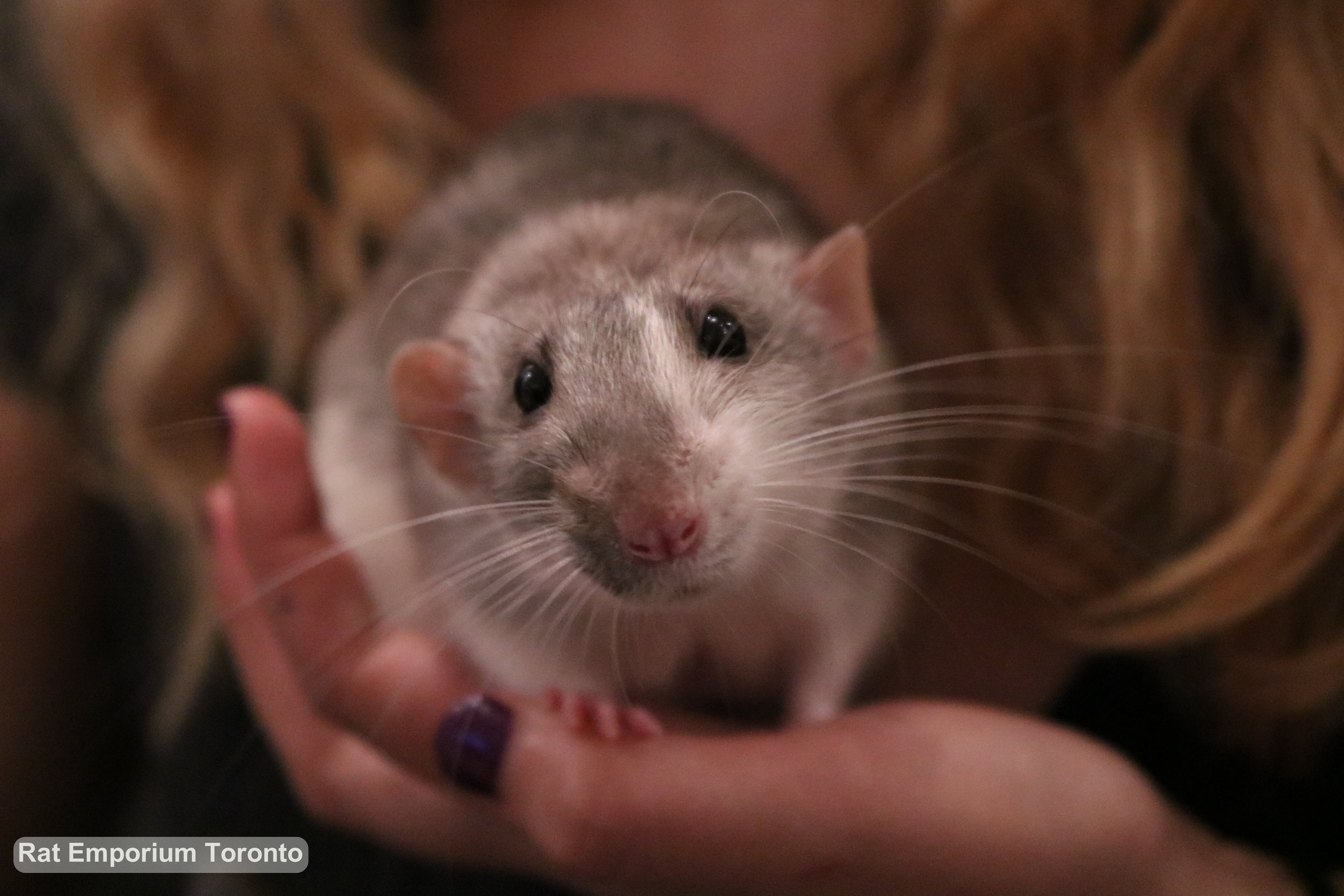 silver agouti dumbo rat, born at the Rat Emporium Toronto - adopt pet rats Toronto - rat breeder
