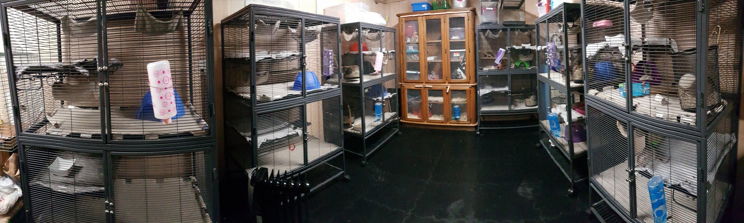 Rat Emporium Toronto - rat cages - rat breeder Toronto - rat room - pet rats